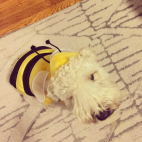 Bumble Bee Halloween Costume Soft Coated Wheaton Terrier Puppy Love