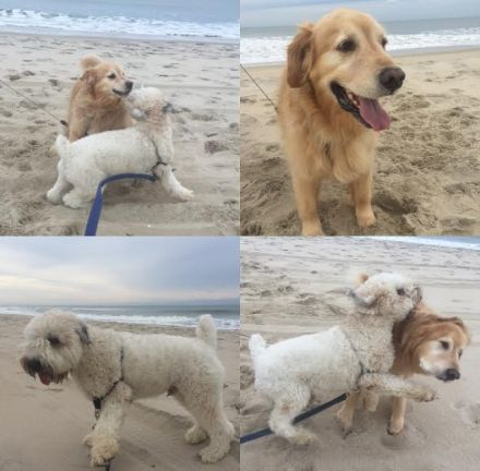 Golden Retriever, Sully Boy, Brantley Bub, Wheaten Terrier, Beach Dogs, Beach Puppy, Puppies at the Beach, Dogs at the beach, Playful puppies, ocean, January at the beach, Winter Beach.