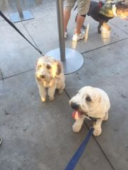 camping, tent camping, tents, lake, vacation, pennsylvania, summer vacation, weekend getaway, memories, making memories, Pittsburgh, PNC Park, Pup Night at the Park, Pup Night, Baseball Game, wheaten terrier, wheaten terriers, wheatens of pittsburgh, tongue out tuesday, brantley bub,